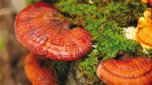 Ganoderma lucidum rimedio omeopatico